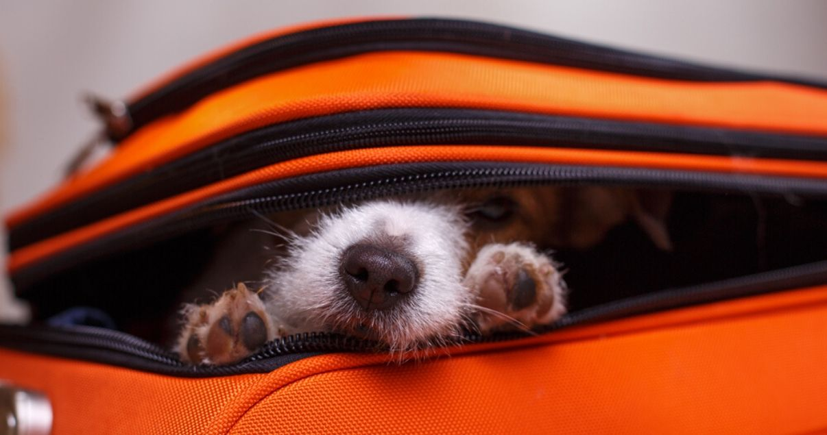 Primer plano de un perro con ocico blanco que asoma escondido en una valija anaranjada en la que viajara con su dueño en las proximas vacaciones y se hospedaran en hoteles pet friendly