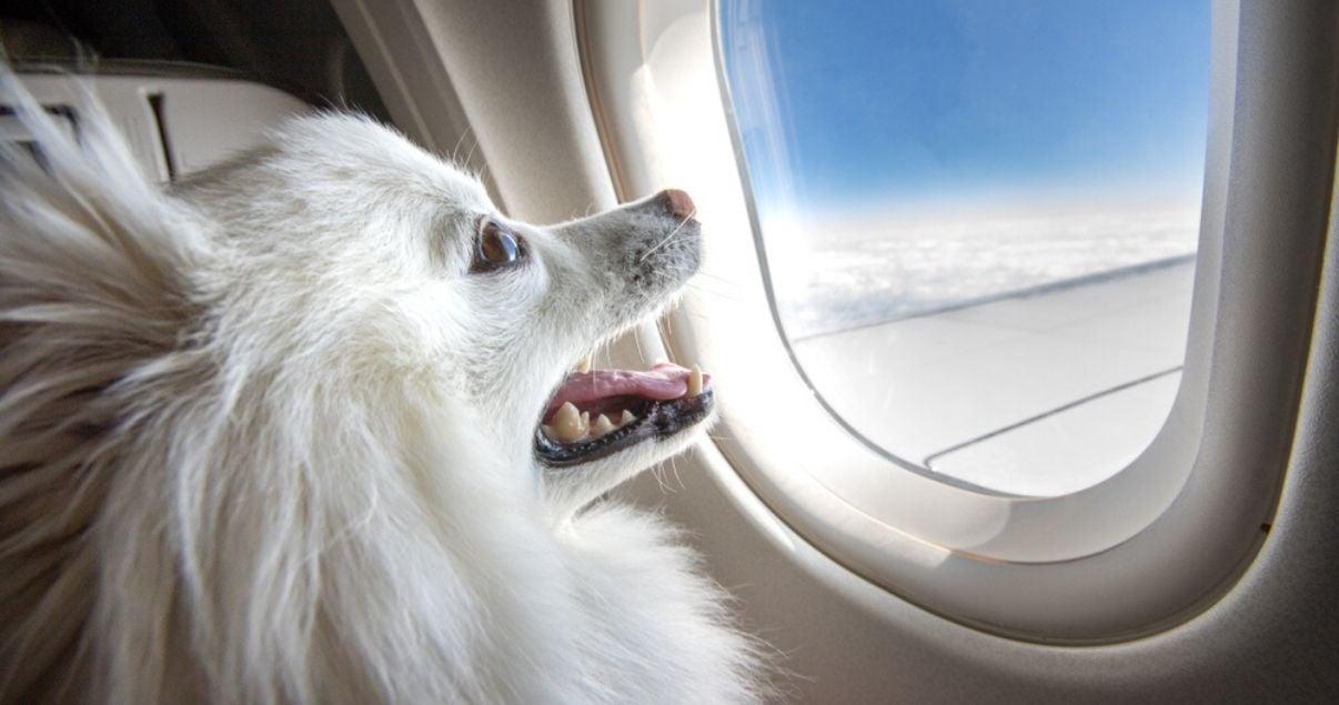 Primer plano del perfil derecho un perro pequines blanco con la boca abierta mientras mira por la ventana de un avion en vuelo hacia sus proximas vacaciones donde se alojara junto a sus amos en hoteles pet friendly